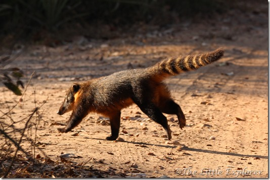 Coati on road