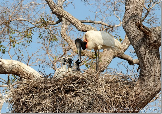 Stork with chiks 3